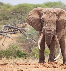 MS_Solo_Elephant_Big_Tusks_2713.jpg.webp