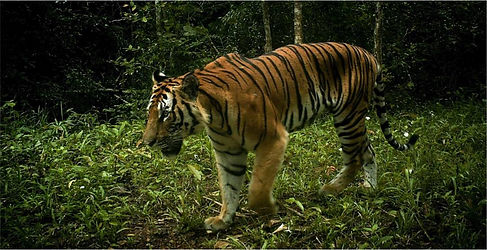 Freeland tiger.jpg