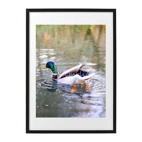 COLOUR DUCK A2 PRINT