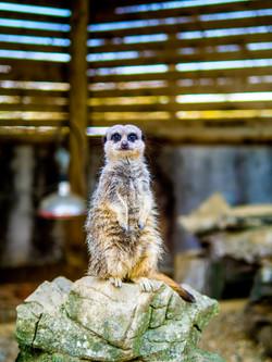 Simple Meerkat