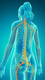Sistema nervoso.tiff