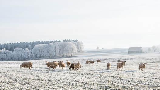 Moutons à Orsonnens