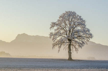 Un arbre et le Moléson