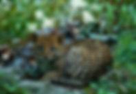Leopardus-Pardalis-590x408.jpg
