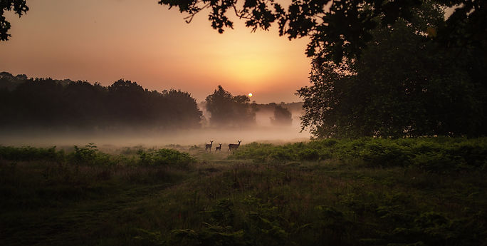 wild deer at sunrise