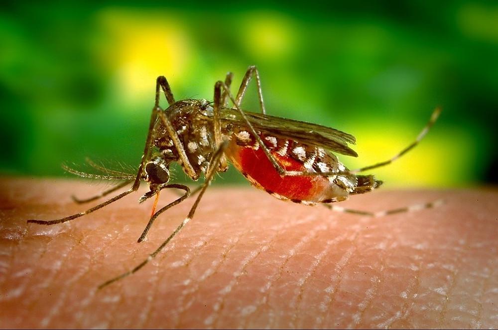 mosquito cincinelles