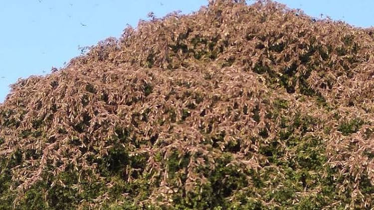 Locust swarms sitting on the tree to eat the leaves.