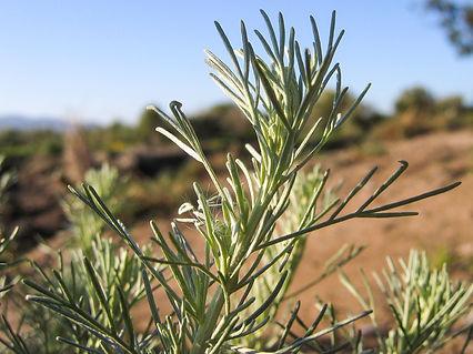 Artemisia californica.jpg