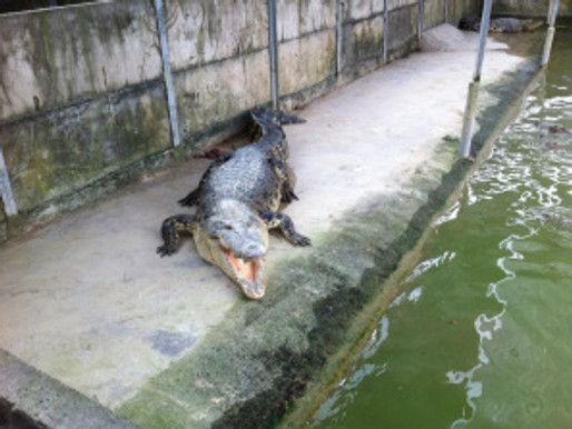 The Benefit Effects of Crocodile Meat.