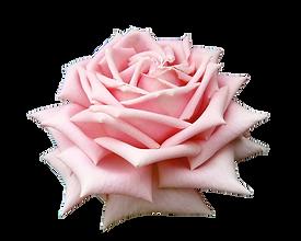 fpink rose.png