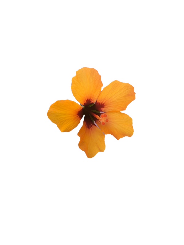 Orange Hibiscus.png