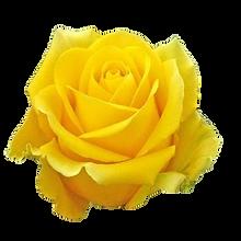Yellow rose.png