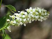walnut-flower-place-holder-.jpg