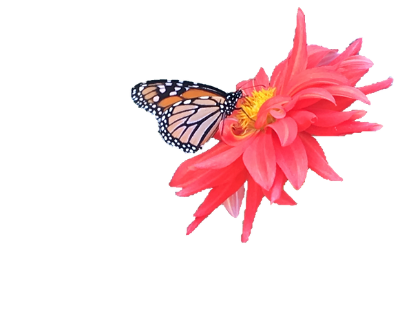 Butterfly on Flower copy.png