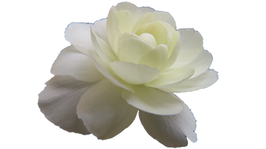White flower copy.png