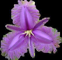 finged-violet.png