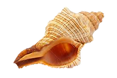 Shell2.png