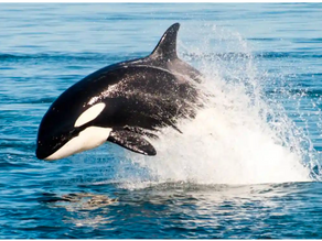 Killer Whales: Creatures of the Open Waters
