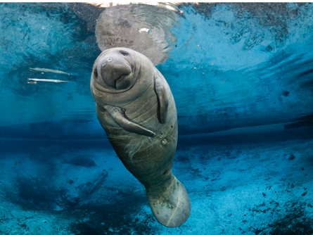 Cows of the Sea; The Manatee