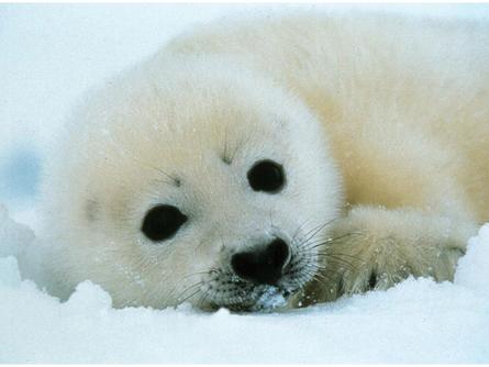 Big Eyed Harp Seals