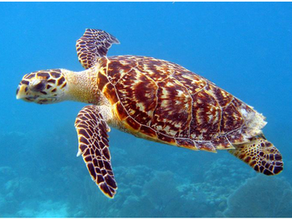 Finding Nemo Turtle; The Hawksbill Turtle