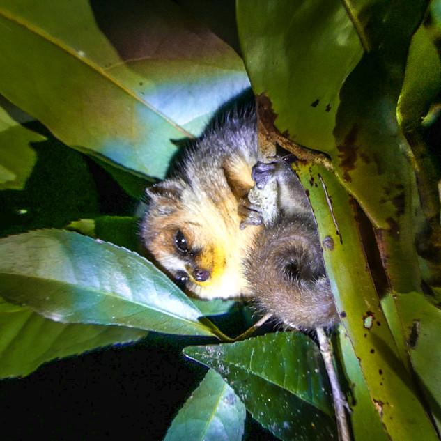 mouse lemur8_png.jpg