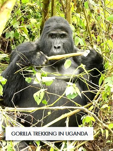 wix gorilla.png