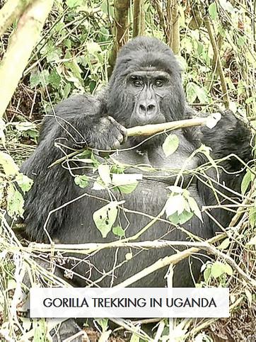 wix gorilla.jpg