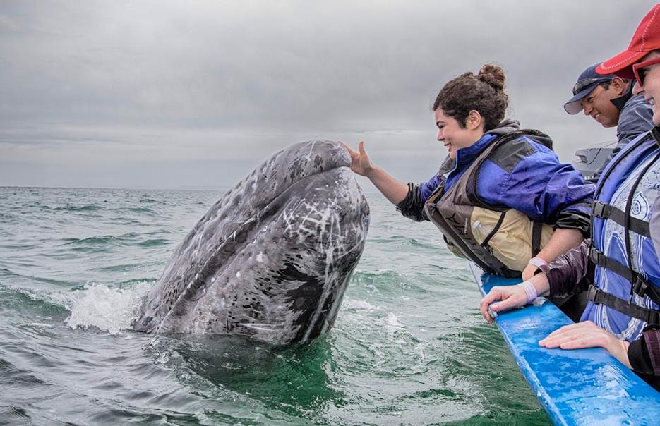 Baja: gray whale spyhop