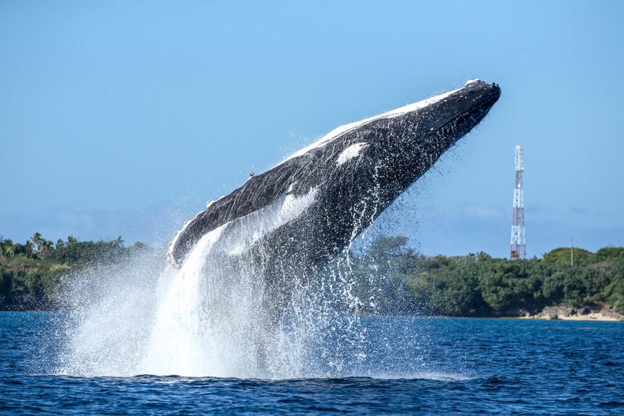 Tonga: humpback breach