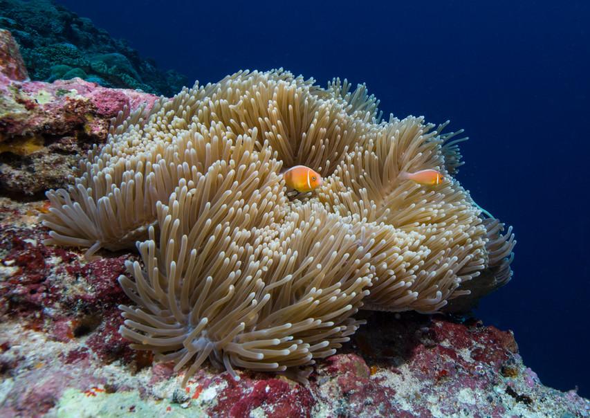 Palau: sea anemone fish