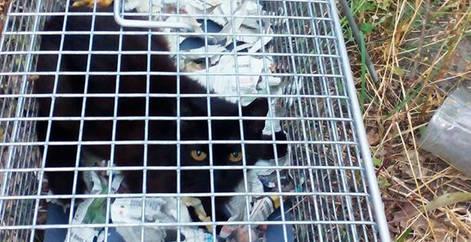 Chat errant capturé et trappé dans une cage pour se faire stériliser, Brabant wallon, refuge chat, SPA Belgique