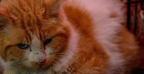 Vieux chat roux et blanc abandonné, refuge Belgique, Brabant wallon, SPA, Everyone Matters