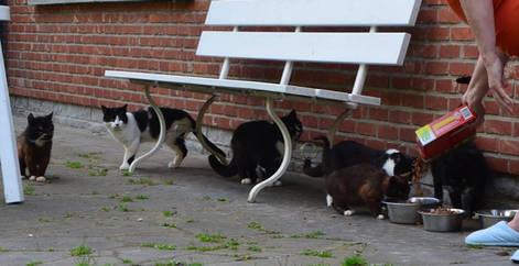5 chats non-stérilisés nourris par une femme, Brabant wallon, refuge chat, SPA Belgique