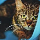 Chat à l'adoption chez Everyone Matters - refuge pour chats en Brabant wallon, Braine l'Alleud