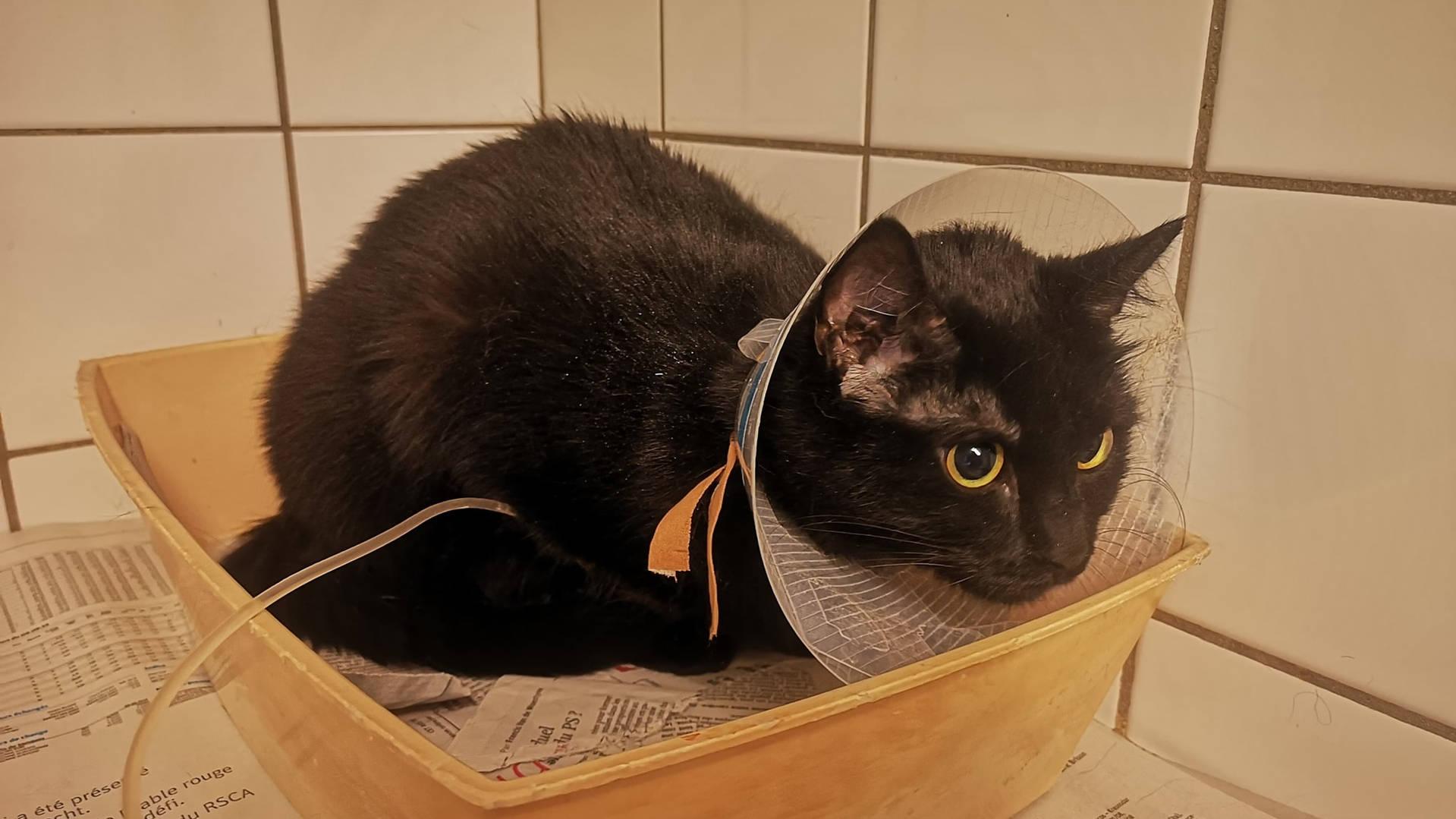 Chat noir chez le vétérinaire avec une collerette, Everyone Matters ASBL, refuge Belgique, Brabant wallon, SPA