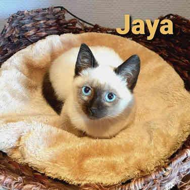Jaya / Ginger