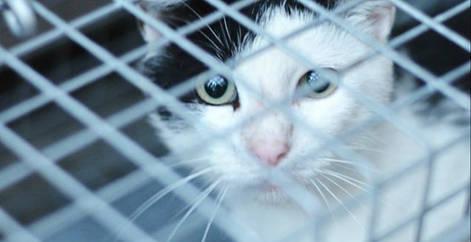 Chaton abandonné et mis dans une cage-trappe pour se faire stériliser et adopter, Brabant wallon, refuge chat, SPA Belgique
