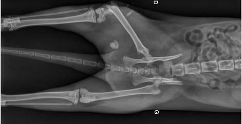 Radio bassin vétérinaire d'un chat probablement renversé par une voiture, refuge Belgique, Brabant wallon, SPA, Everyone Matters
