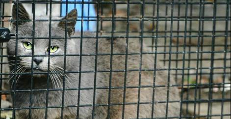 Chat abandonné capturé et trappé dans une cage pour se faire stériliser et adopter, Brabant wallon, refuge chat, SPA Belgique