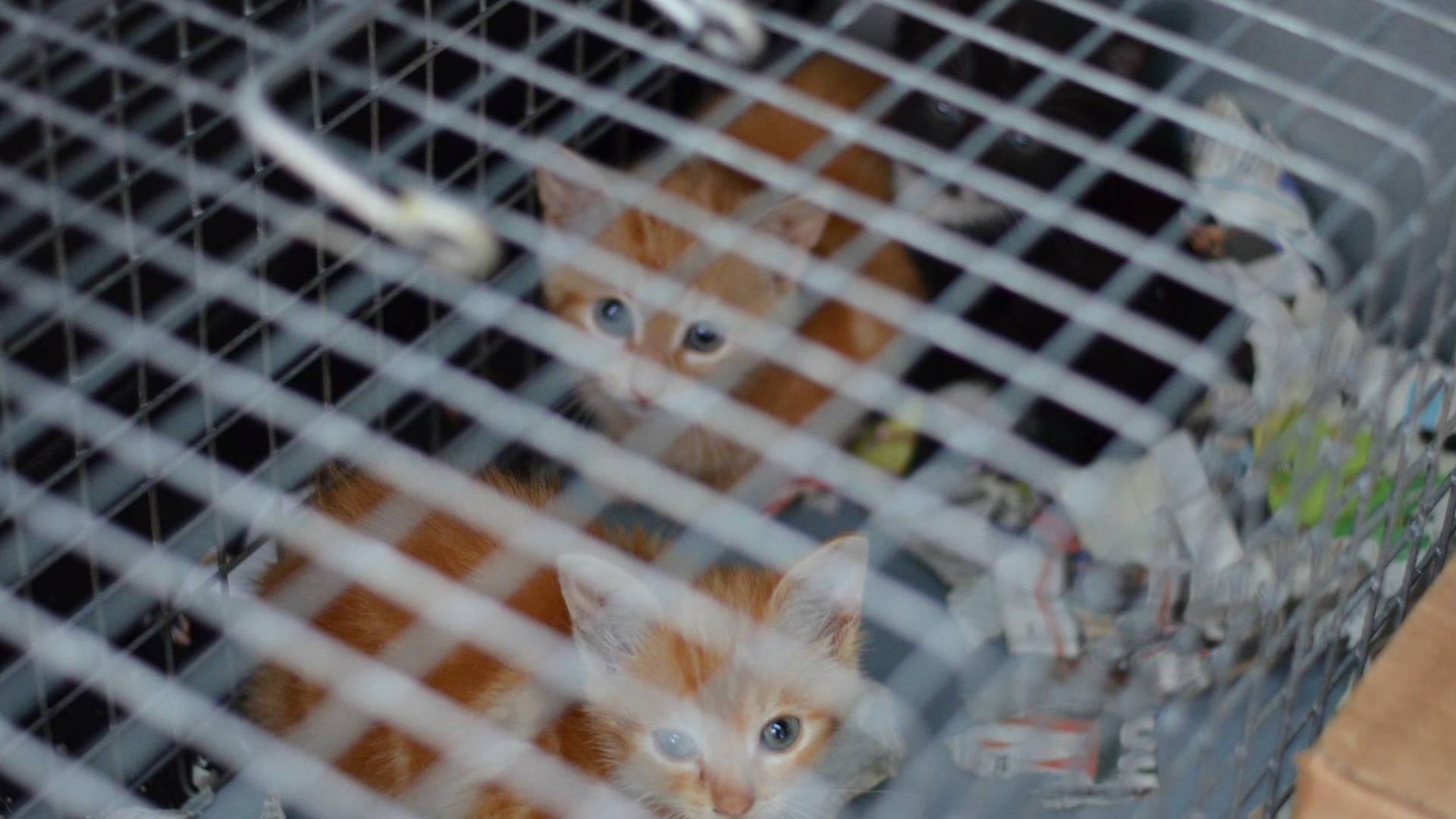 Chatons errants capturés et trappés dans une cage pour se faire stériliser et adopter, Brabant wallon, refuge chat, SPA Belgique