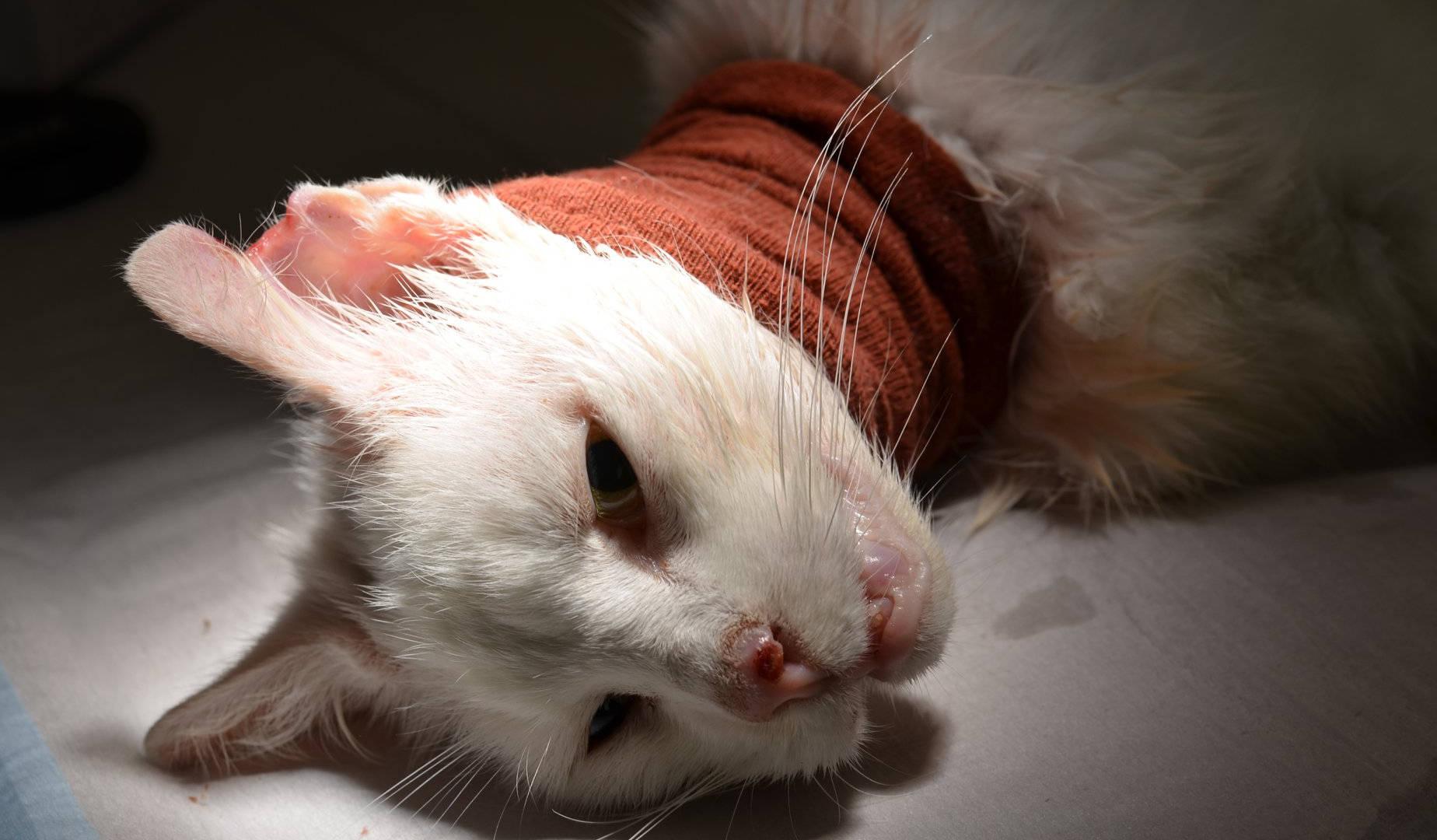 Chat blanc opération chez le vétérinaire, refuge Belgique, Brabant wallon, SPA, Everyone Matters ASBL