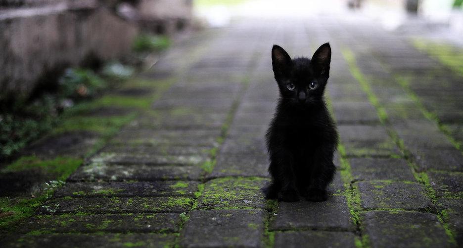 Chaton noir à l'adoption