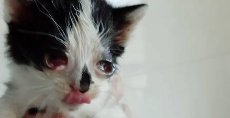 Chaton noir et blanc avec problème aux yeux, malade, coryza, refuge Belgique, Brabant wallon, SPA, Everyone Matters