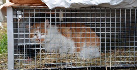 Chat abandonné capturé et trappé dans une cage trappe pour se faire stériliser et adopter, Brabant wallon, refuge chat, SPA Belgique