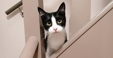 Chat noir et blanc dans l'escalier chez ses nouveaux propriétaires, refuge Belgique, Brabant wallon, SPA, Everyone Matters ASBL