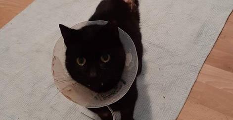 Chat noir avec une collerette soigné qui a subit une opération d'amputation via l'association Everyone Matters, refuge Belgique, Brabant wallon, SPA