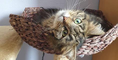 Chat tigré dans son arbre à chat après son adoption, refuge Belgique, Brabant wallon, SPA, Everyone Matters ASBL