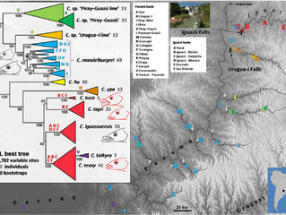 New paper: phylogenomics of the Parana River pike cichlids (Crenicichla)