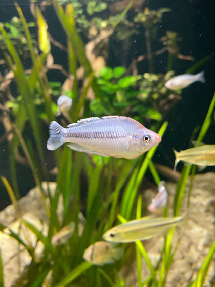 Pygmy Rainbowfish_